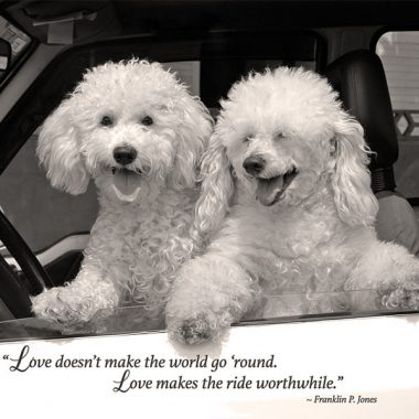 Poodles driving valentines card