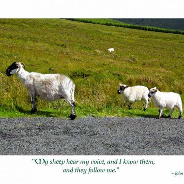 Irish sheep first communion
